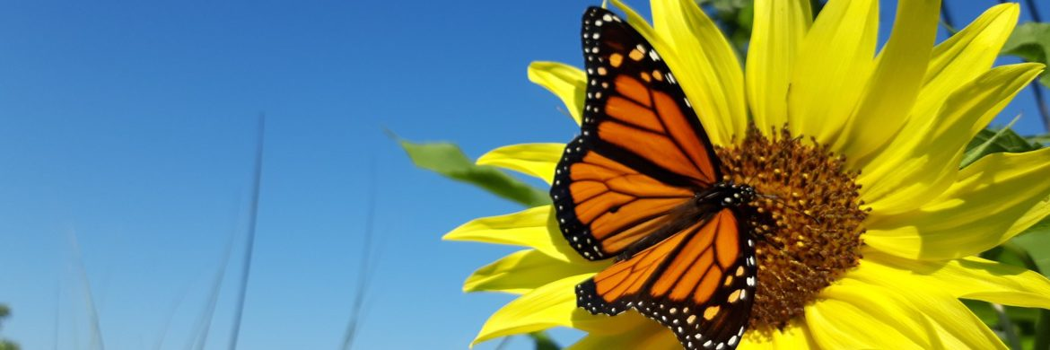 Butterfly on sunflower symbolizes wellness