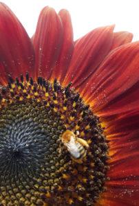 Bee on sunflower symbolizes spiritual wellness